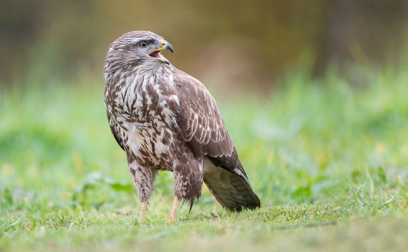Bird of Prey photo preview