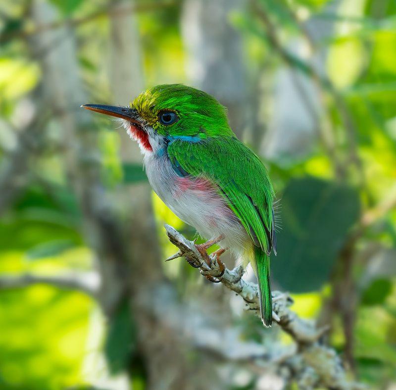 cuban tody, bird, cuba, кубинский тоди, куба, птица Cuban todyphoto preview