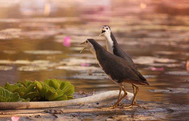 природа, животные, птицы, индонезия Сплетниphoto preview
