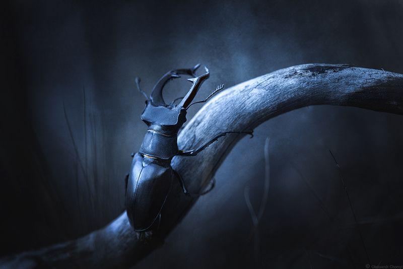 украина, коростышев, природа, жук-олень, макро, макро истории, макро мир, макро красота, лес, сумерки, ***photo preview