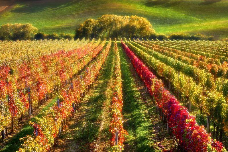 Моравские виноградникиphoto preview