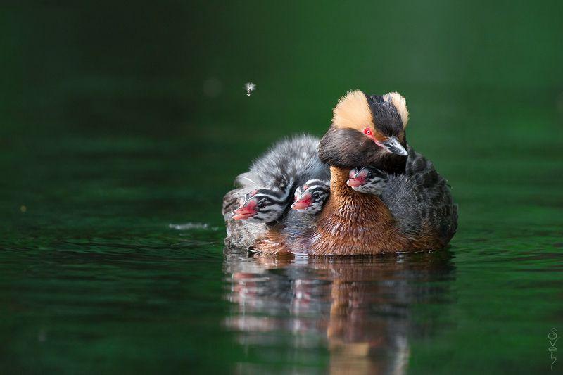 красношейная поганка плавучие яслиphoto preview