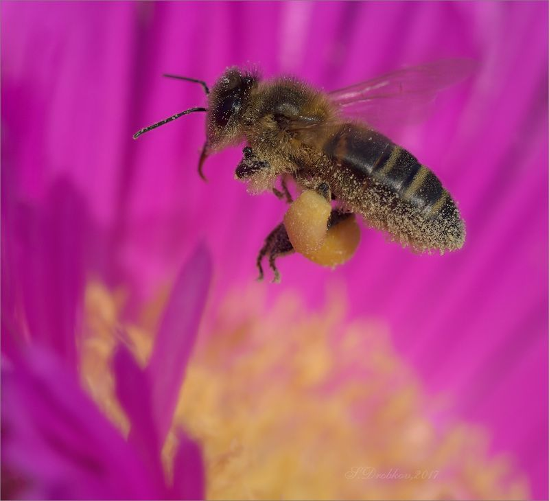 макро, весна, пчела Весенние работыphoto preview