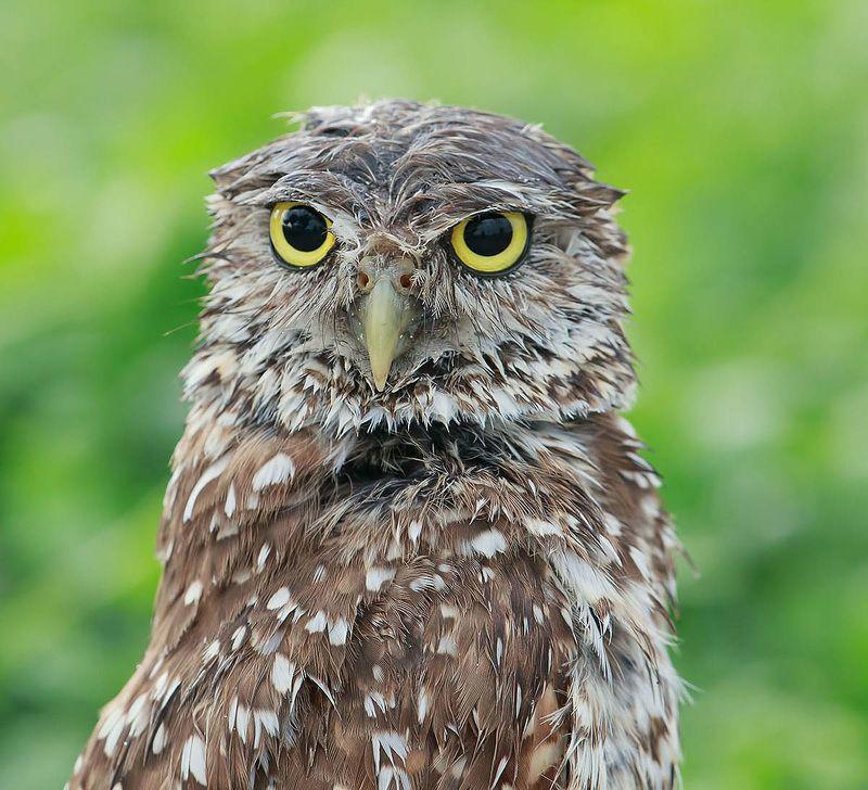 кроличий сыч, florida,burrowing owl, owl, флорида,сыч Портреты Сычей - Burrowing Owlsphoto preview
