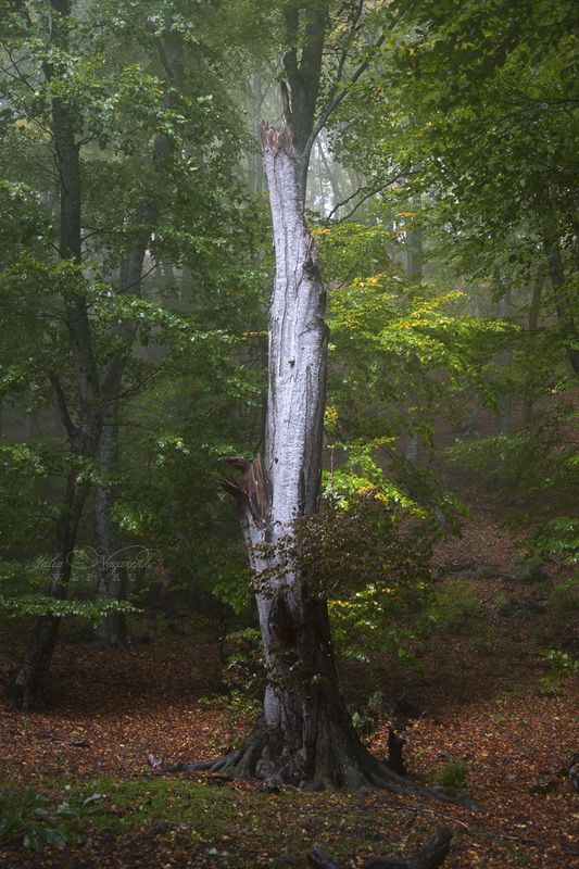 дерево, лес, природа, tree, woodland, forest, nature, fog, mist, туман Лесные эльфы . Wood elvesphoto preview