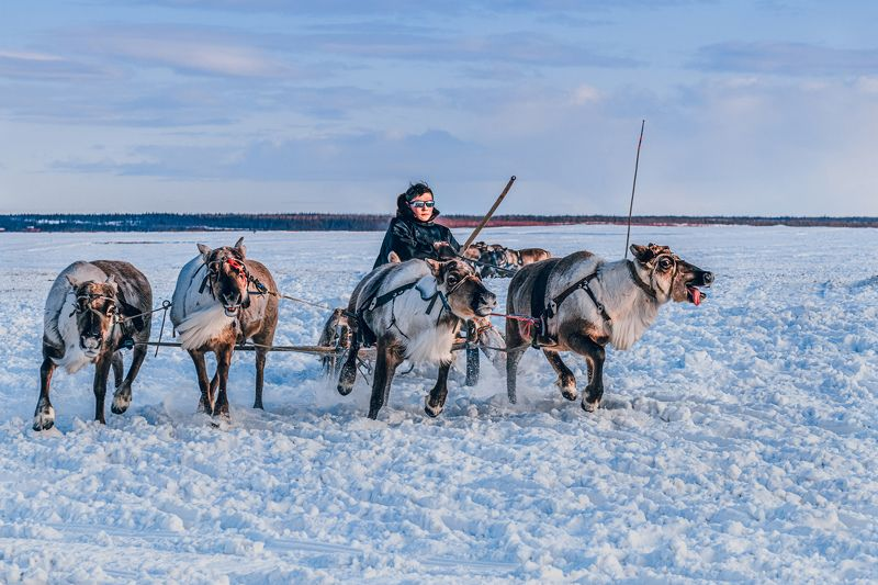 ямал , олени, природа, салехард , гонки, ямал , народы севера, «Края оленьих троп»photo preview
