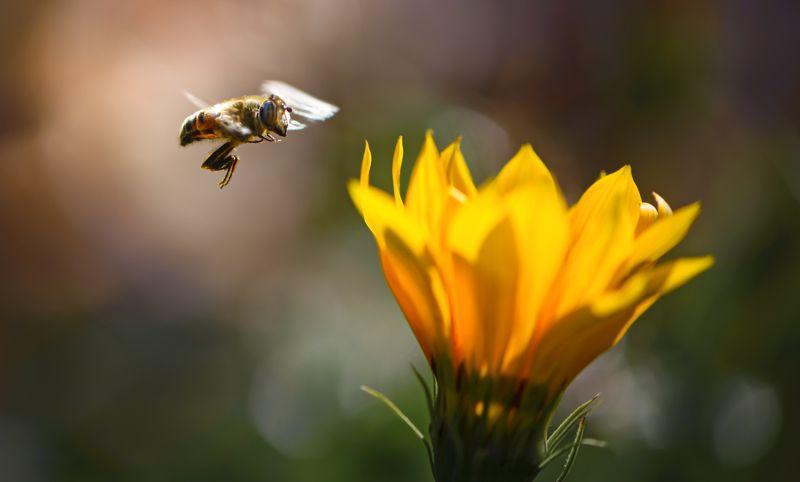 природа, макро, осень, насекомое, журчалка, полет, цветы, гацания Ж-Ж-Ж...photo preview