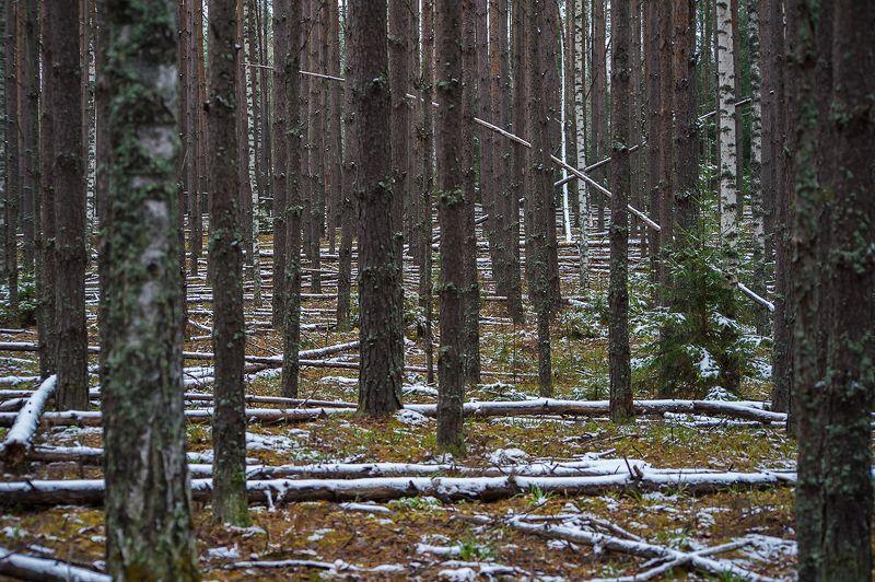 поздняя осень, предзимье, лес, сосны, стволы, первый снег, мещёра, рязанская область Pro макияж поздней осениphoto preview
