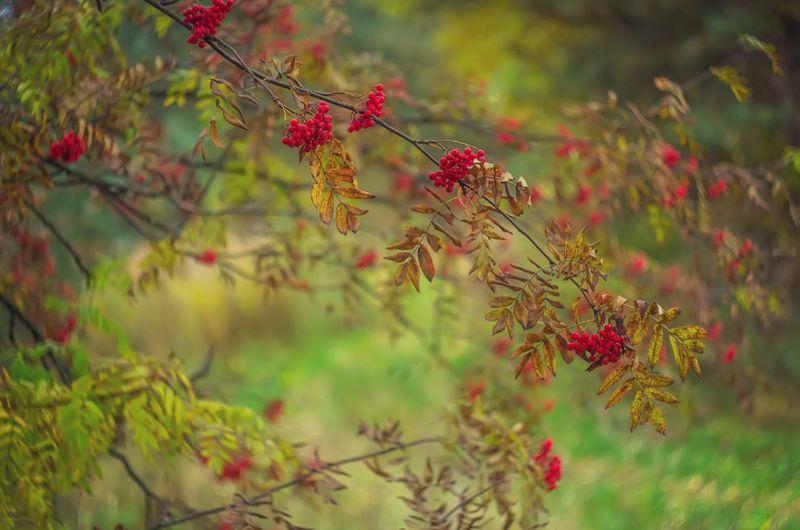 рябина, осень, листья, закат, солнце Рябиновая осеньphoto preview