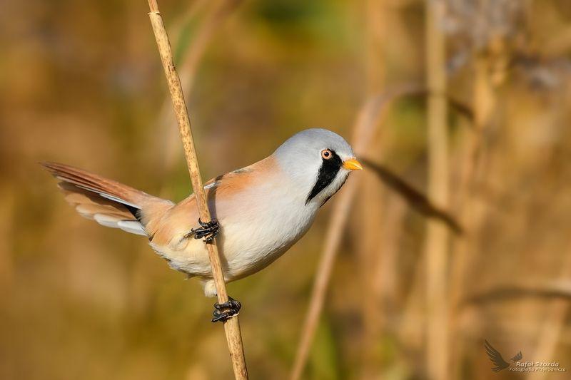 birds, nature, animals, wildlife, colors, meadow, autumn, nikon, nikkor, lens, lubuskie, poland Wąsatka, Bearded Parrotbill (Panurus biarmicus) ... 2017rphoto preview