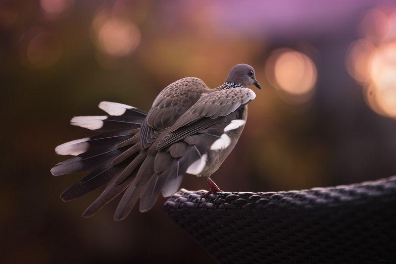природа, животные, птицы, индонезия Губки бантиком, хвостик вееромphoto preview