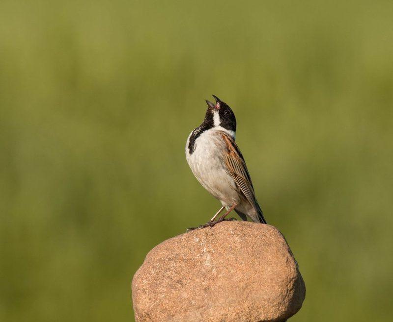 птицы, овсянка, Солистphoto preview
