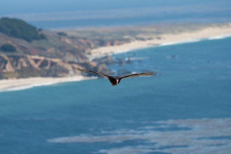 eagle, big sur, california, pacific, usa На охоте...photo preview