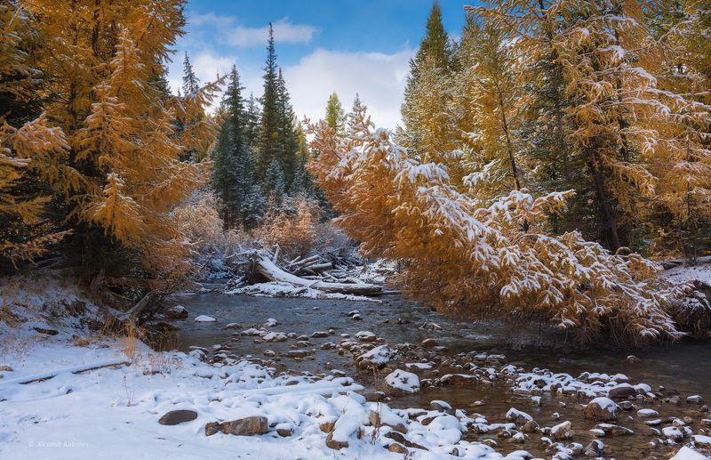 пейзаж, алтай, осень Золото под снегом...photo preview