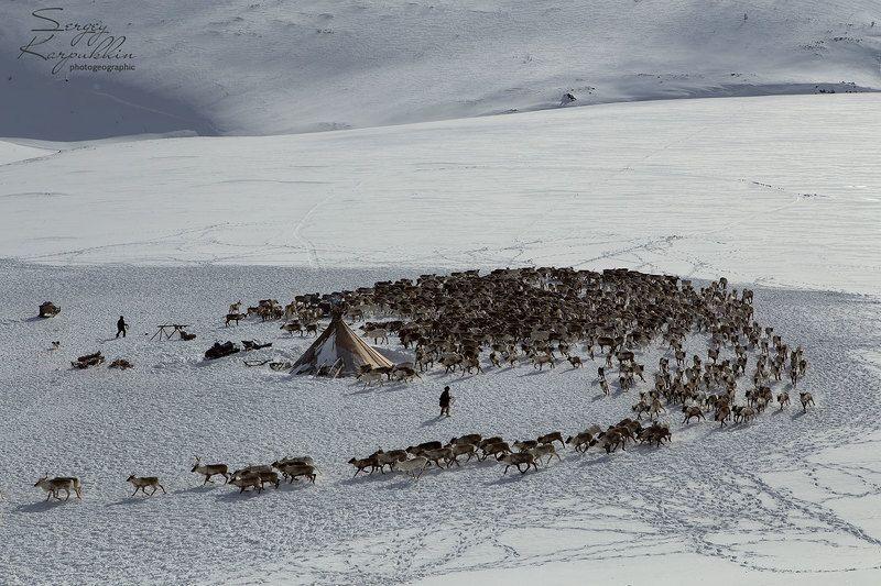 ямал, полярный урал, олени, оленеводы, ненцы Олени, снег и горыphoto preview