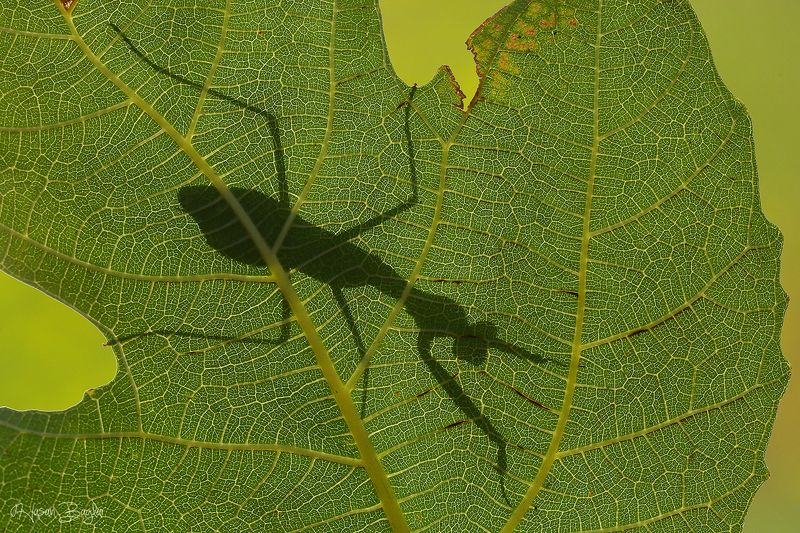 #shadow #play #praying #mantis #hide #macro #nature #northcyprus Shadow Playphoto preview