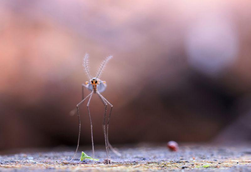 комар Венерианские сумеркиphoto preview