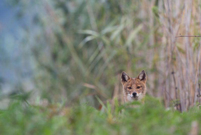Canis aureusphoto preview