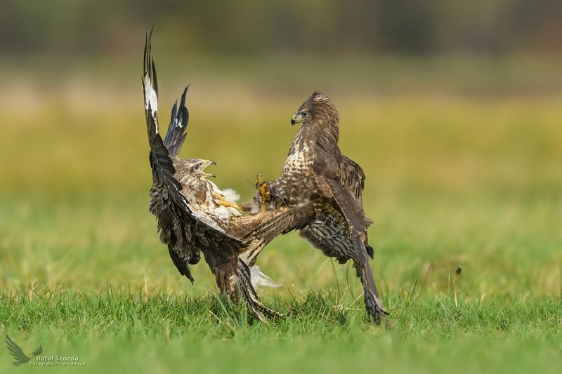 birds, nature, animals, wildlife, color, meadow, autumn, fight, flight, ikon, nikkor, lens, lubuskie, poland Myszołowy, Common Buzzard (Buteo buteo) ... 2017rphoto preview