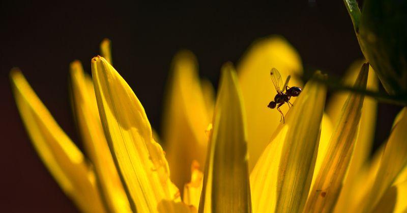 природа, макро, насекомое, мушка, цветок, гацания, желтый, черный По горам, по доламphoto preview
