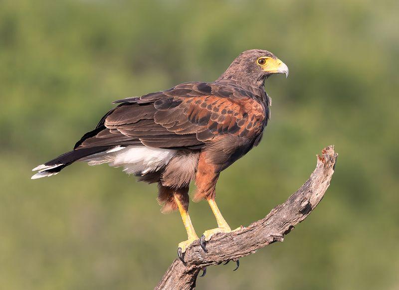 пустынный канюк, harris hawk, hawk, tx, texas Пустынный канюк (самка) - Harris Hawk (female)photo preview