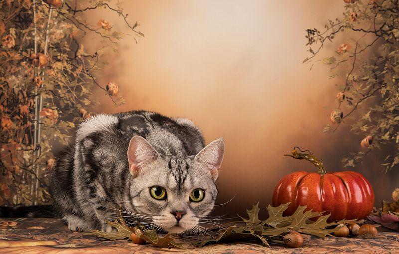 осень, тыква, листья,autumn, кот, домашние любицы, сat, кошка,чёрный кот, black cat, кузя,ragdoll cat, ragdoll,  рэгдолл, ragdoll, американский короткошерстный кот, american shorthair cat, рыжик, ginger Котики на осеннем фоне - Autumn Сatsphoto preview