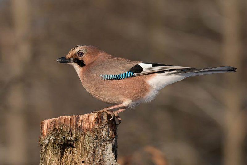 птицы, сойка, Лесная гостьяphoto preview
