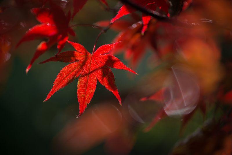 природа, макро, осень, клен японский дланевидный, красный Красная Гвардияphoto preview