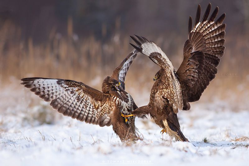 buteo, buzzard, wildlife, hide, winter, poland, snow, fight Fightphoto preview