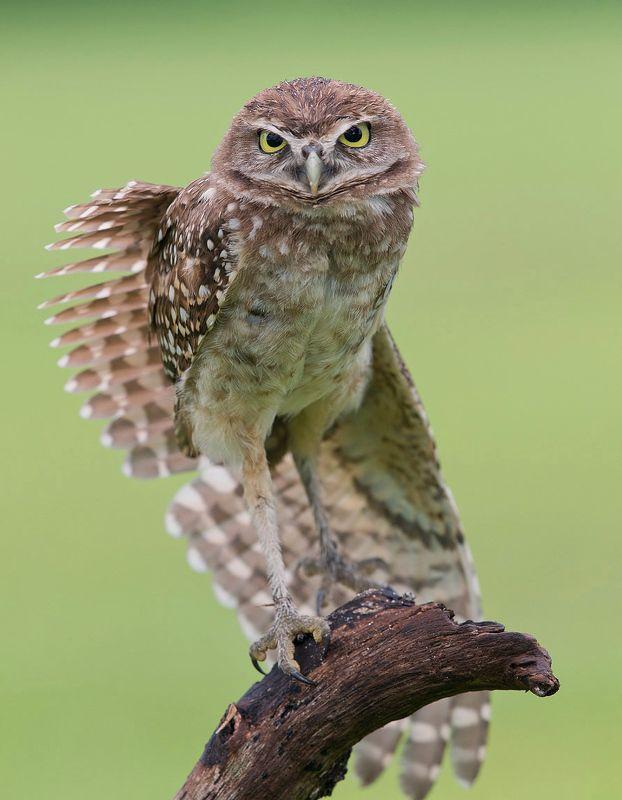 кроличий сыч, florida,burrowing owl, owl, флорида,сыч Cыч - Burrowing Owlphoto preview