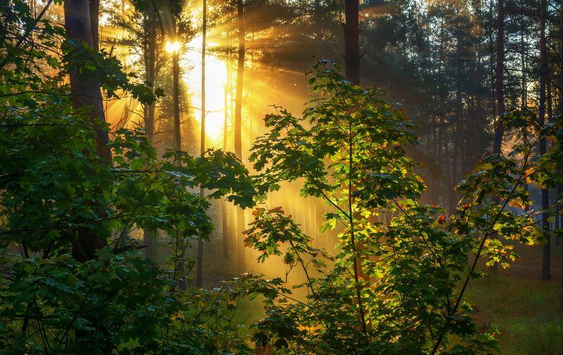 landscape, пейзаж, утро, лес, сосны, деревья, солнечный свет, солнечные лучи, солнце, природа, утроphoto preview