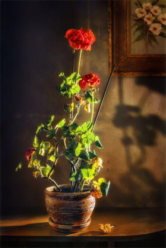 still life, натюрморт,    растение, природа,  , листья,  винтаж, ретро, герань, цветы, картина, тень натюрморт с гераньюphoto preview
