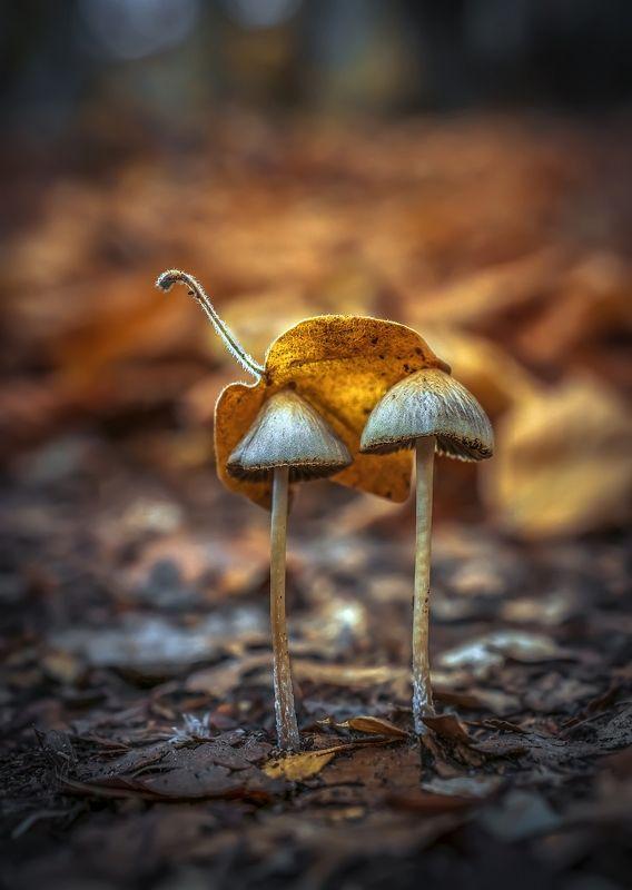 демерджи, макро, грибы, буковая роща Грибочки буковой рощиphoto preview