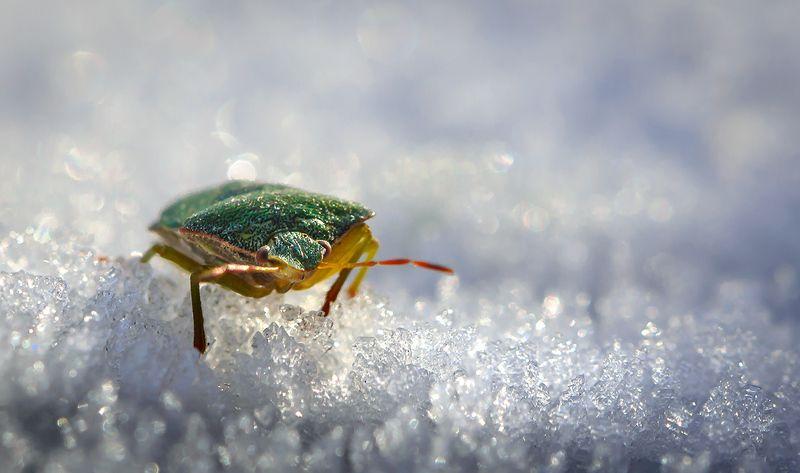 природа, макро, осень, снег, оттепель, насекомое, клоп Затерянный во льдахphoto preview