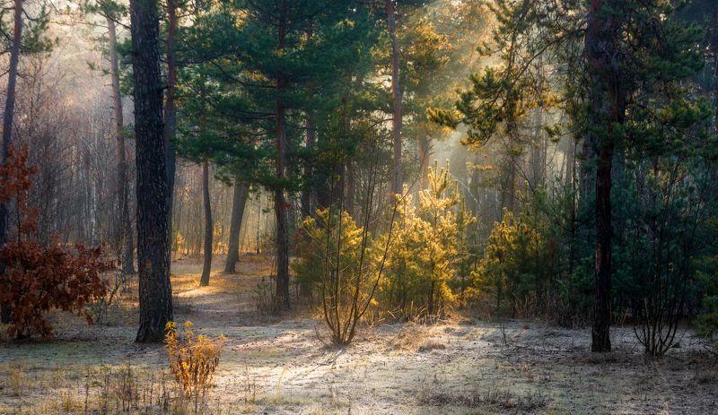 landscape, пейзаж, утро, лес, сосны, деревья, солнечный свет, солнечные лучи, солнце, природа, заморозки, иней,зима, осень, первые заморозкиphoto preview