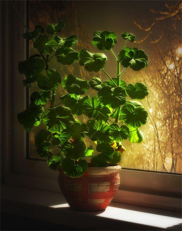 still life, натюрморт,    растение, природа, зима,   осень, листья,  винтаж, герань, окно, вечер, снег, натюрморт с гераньюphoto preview