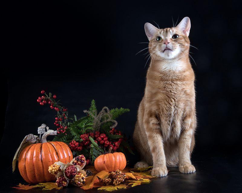 ягоды,тыква, листья,autumn, кот, домашние любицы, сat, кошка,чёрный кот, black cat, кузя,  американский короткошерстный кот, american shorthair cat, рыжик, ginger Котики с ягодами Пираканта ярко-красная (Pyracantha) и в осенних декорациях - Catsphoto preview