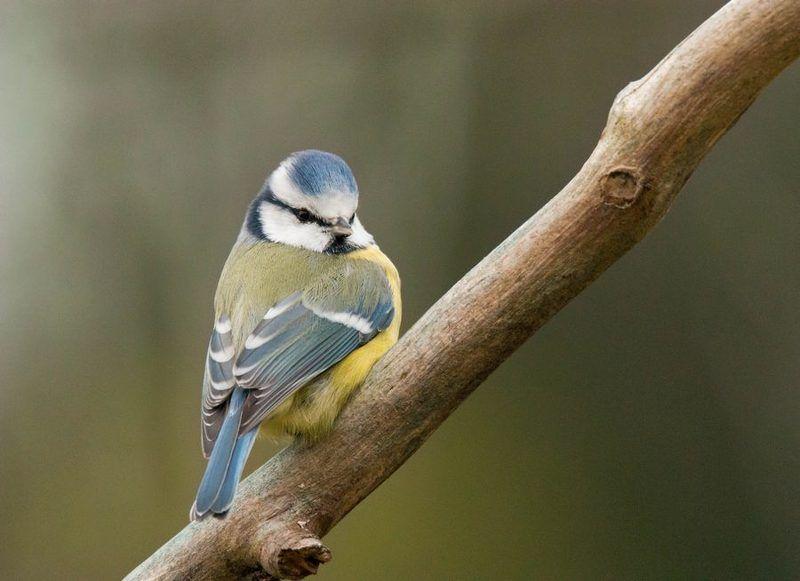 лазоревка, птицы, Диагональphoto preview
