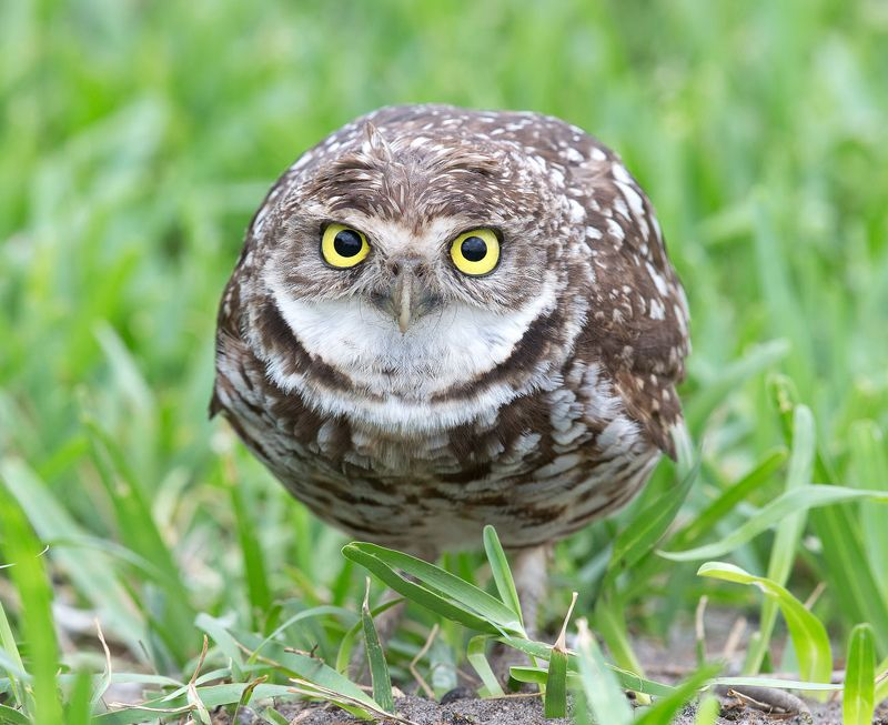 кроличий сыч, florida,burrowing owl, owl, флорида,сыч Cыч - Burrowing Owlphoto preview