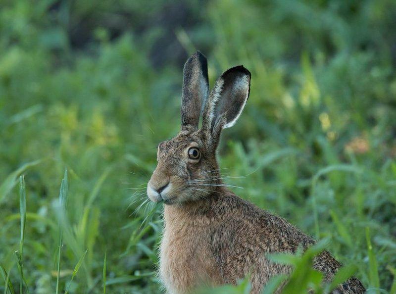 заяц, дикие животные, Ушастыйphoto preview