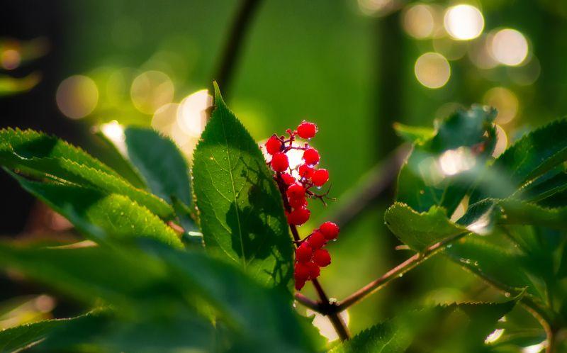 nature, природа,  растение, листья,, солнечный свет, ягоды ягодкиphoto preview