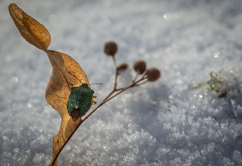 природа, макро, осень, снег, оттепель, насекомое, клоп Арктическая экспедицияphoto preview