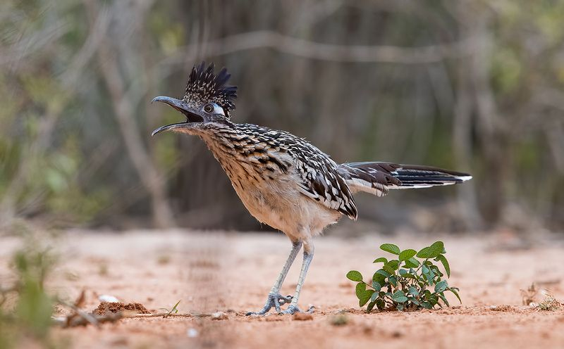 greater roadrunner, roadrunner, tx, texas Greater Roadrunner - Калифорнийская земляная кукушкаphoto preview