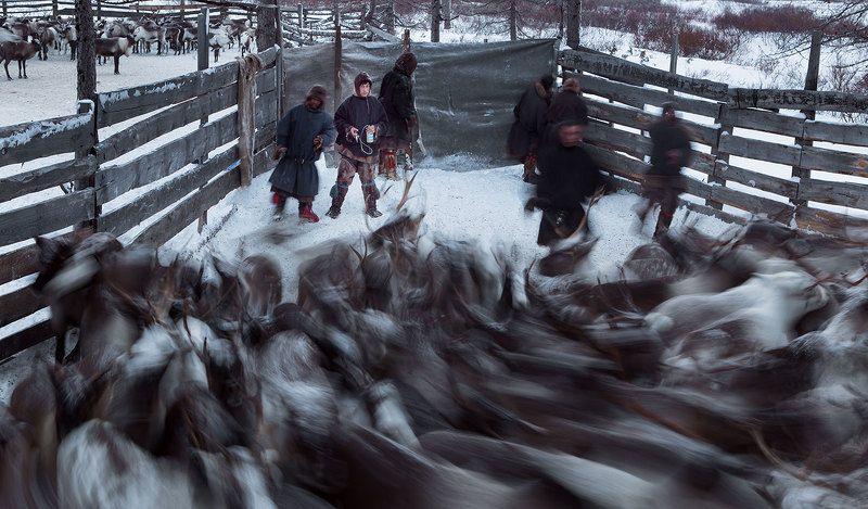 полярный урал, ямал, олени, оленеводы Вакцинацияphoto preview