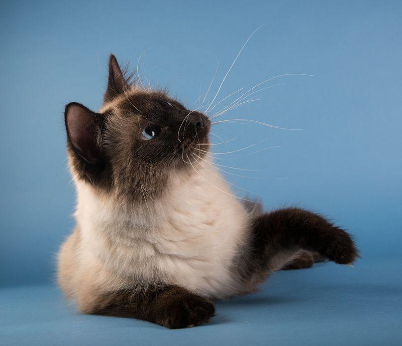 кот, домашние любицы, сat Саймон -Simonphoto preview