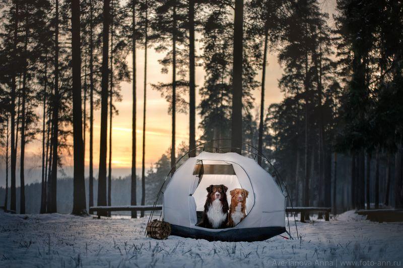 собака, природа, палатка Зимний вечерphoto preview