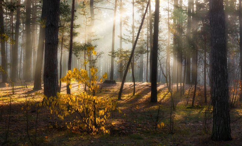 landscape, пейзаж,  лес,  деревья,  природа, осенние листья,  осень,  сосны, тропинка, прогулка, осенние краски, утро, туман утро в лесуphoto preview