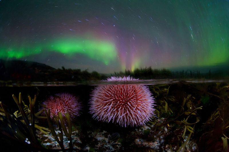 морской еж, подводная съемка, сплит, полярное сияние, ночь, Кольский полуостров, Ледовитый океан, север,  Извержение морского ежа :) photo preview