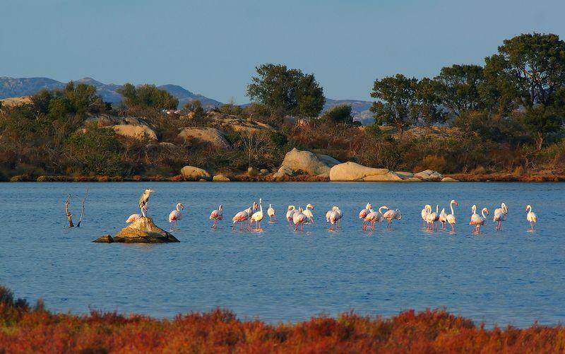 фламинго Fenicottero  (Фламинго в Сан Теодорро, Сардиния)photo preview
