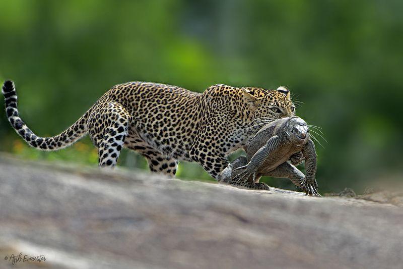Leopard, Monitor Lizard, Srilanka, Yala, Hunting Leopard hunting Monitor Lizardphoto preview